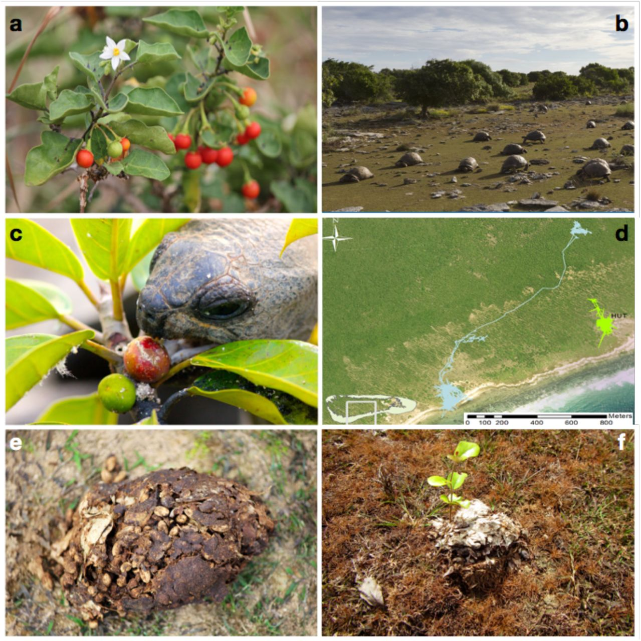 Frugivory and seed dispersal by chelonians: A review and