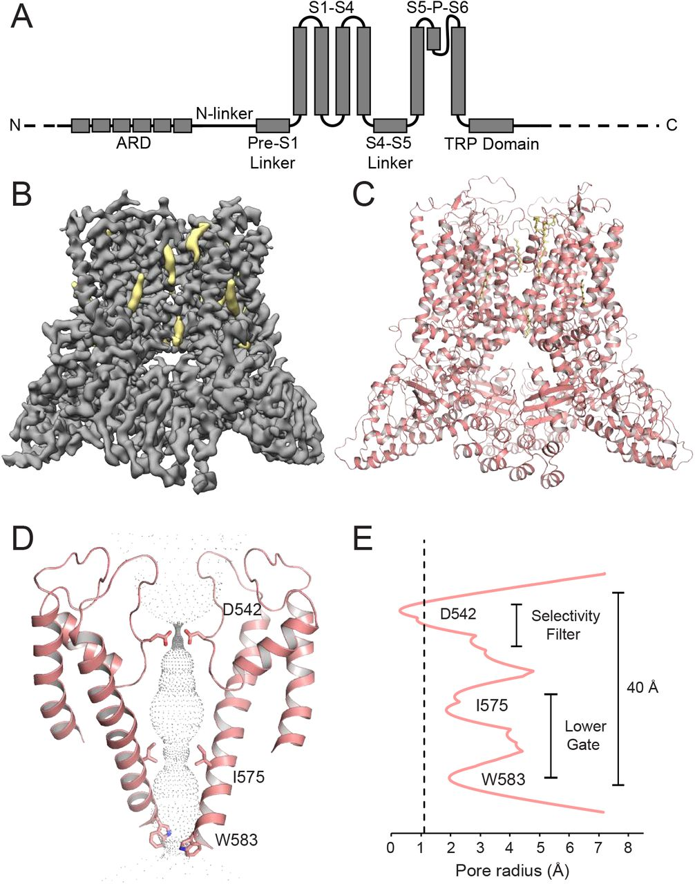 Structural insights on TRPV5 gating by endogenous modulators