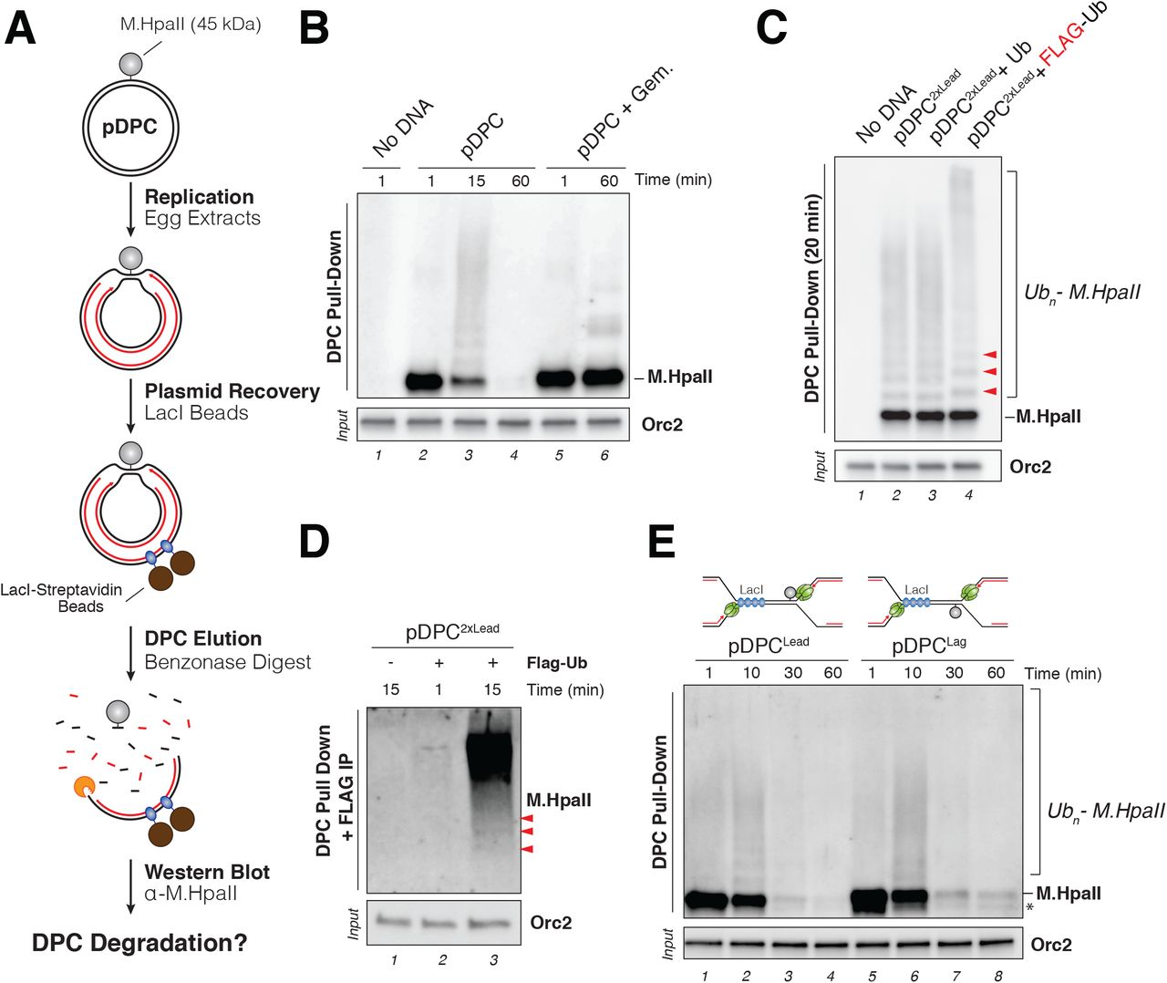 Mechanism of replication-coupled DNA-protein crosslink proteolysis
