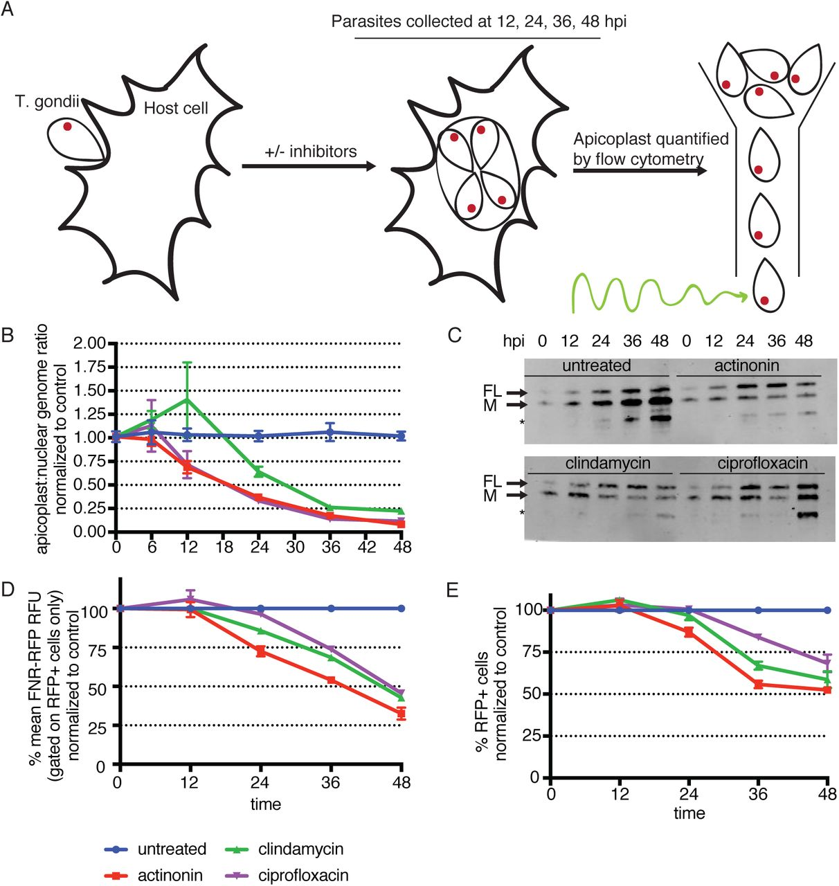 Host cell metabolism contributes to delayed-death kinetics