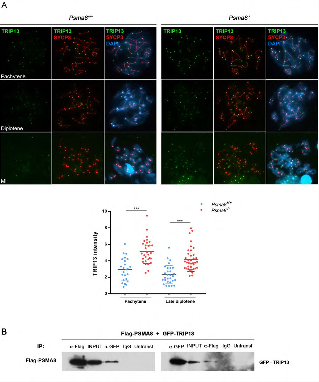 Spermatoproteasome-deficient mice are proficient in meiotic