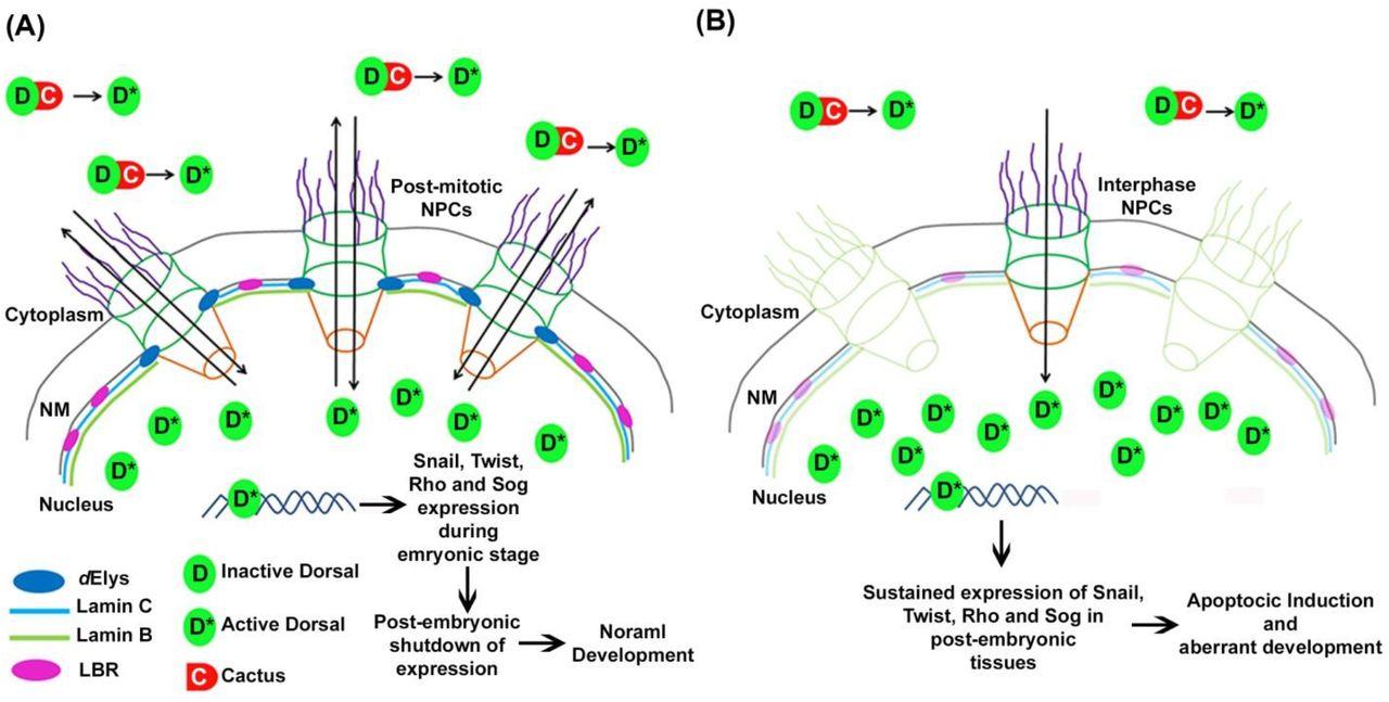 ELYS coordinates NF-κB pathway dynamics during development