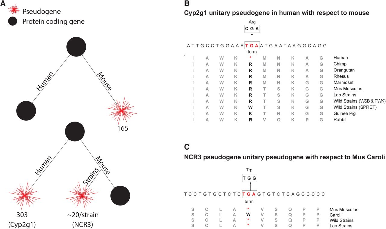 Pseudogenes in the mouse lineage: transcriptional activity