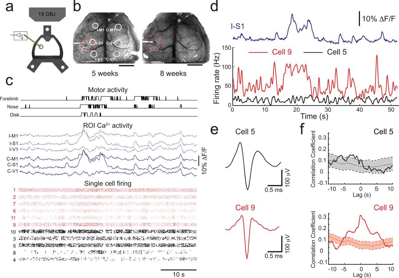 Cortex-wide neural interfacing via transparent polymer skulls | bioRxiv