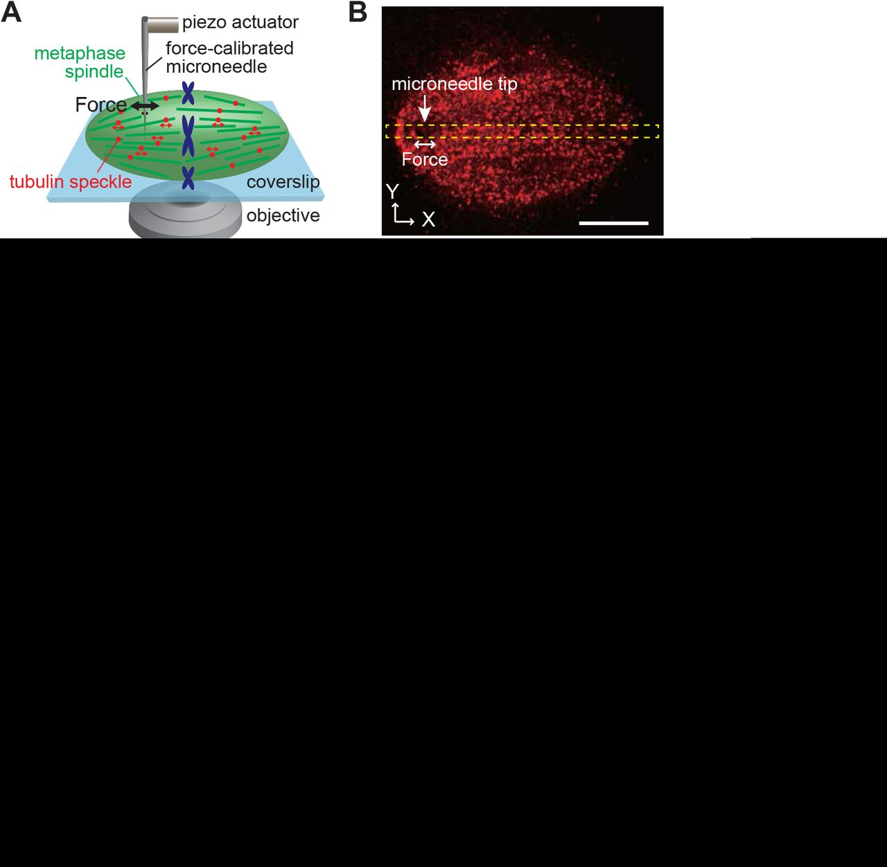Mechanical heterogeneity and roles of parallel microtubule