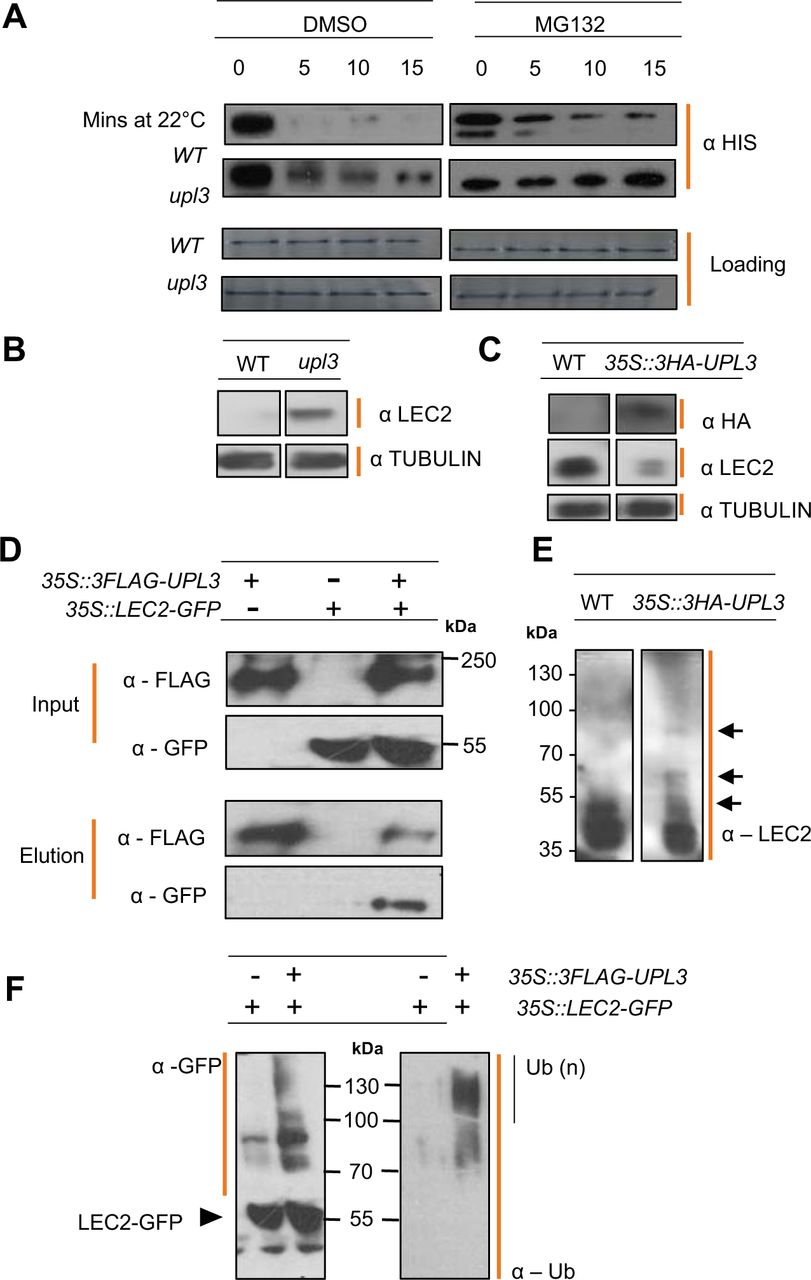 Variation in expression of the HECT E3 ligase UPL3 modulates LEC2