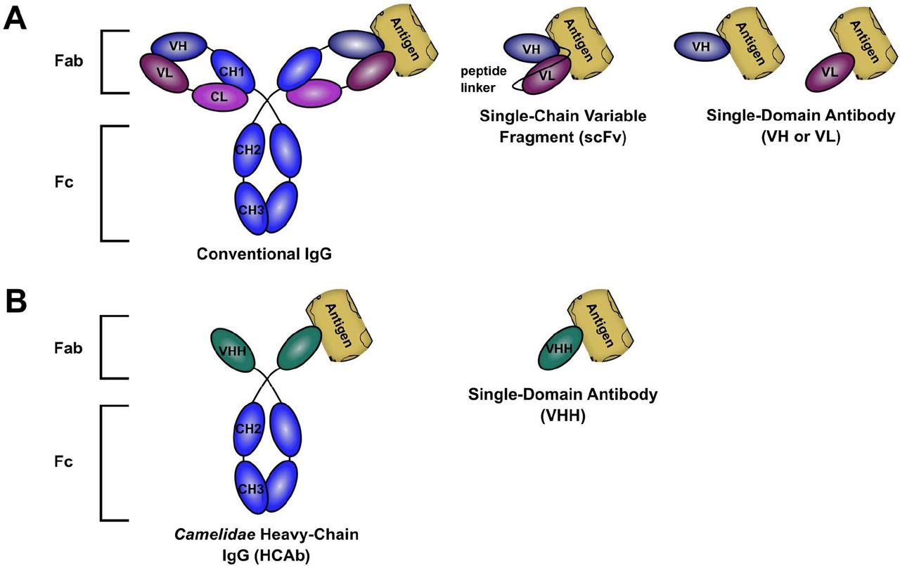Single-domain antibodies represent novel alternatives to monoclonal