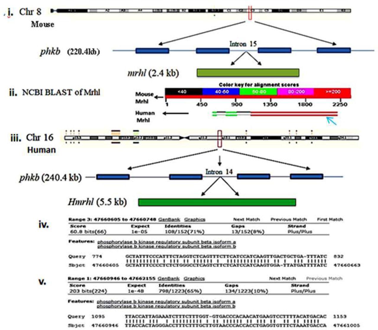 A novel enhancer RNA, Hmrhl, positively regulates its host gene