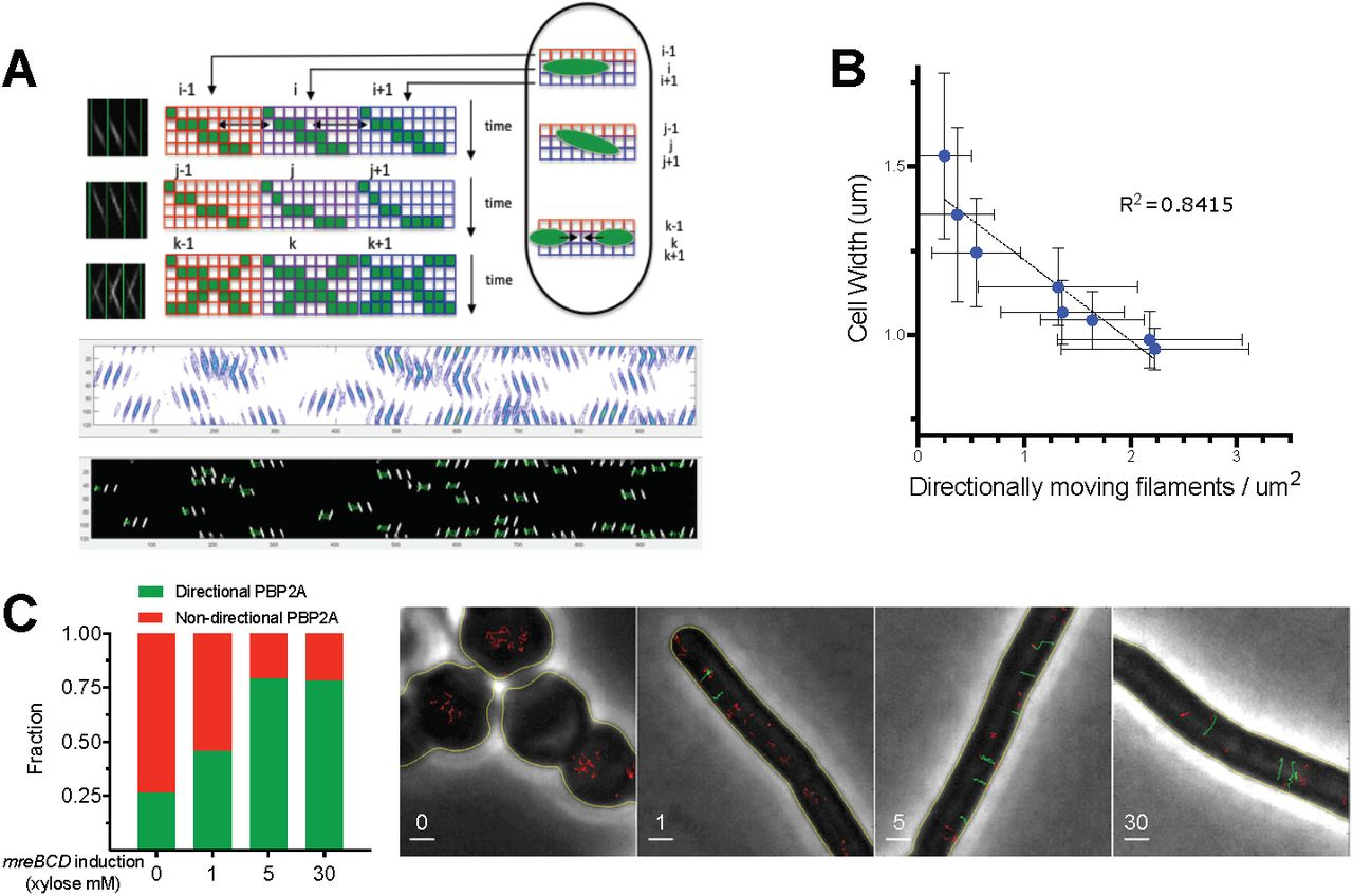 Cell Diameter in Bacillus subtilis is Determined by the Opposing