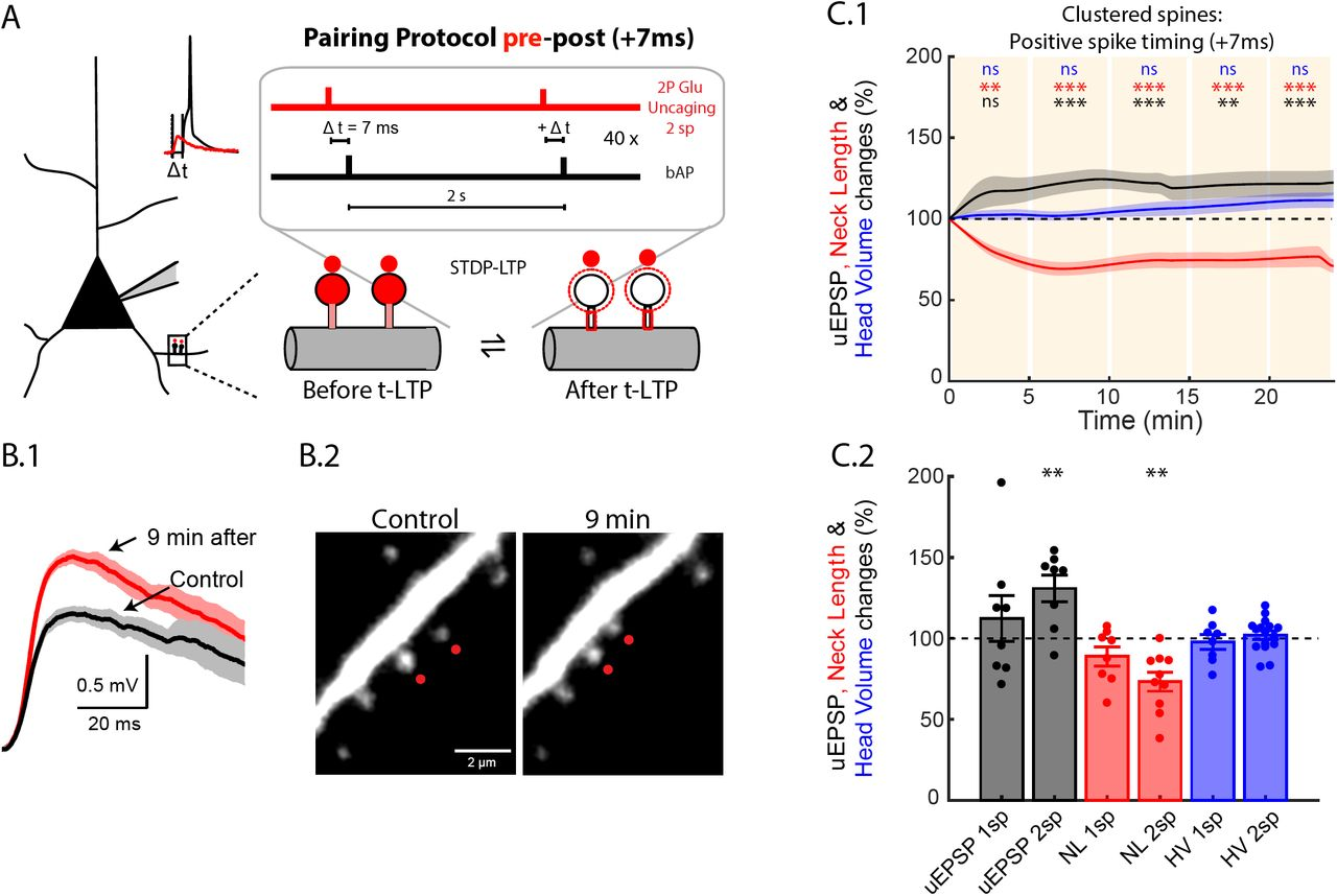 A spike timing-dependent plasticity rule for single, clustered and