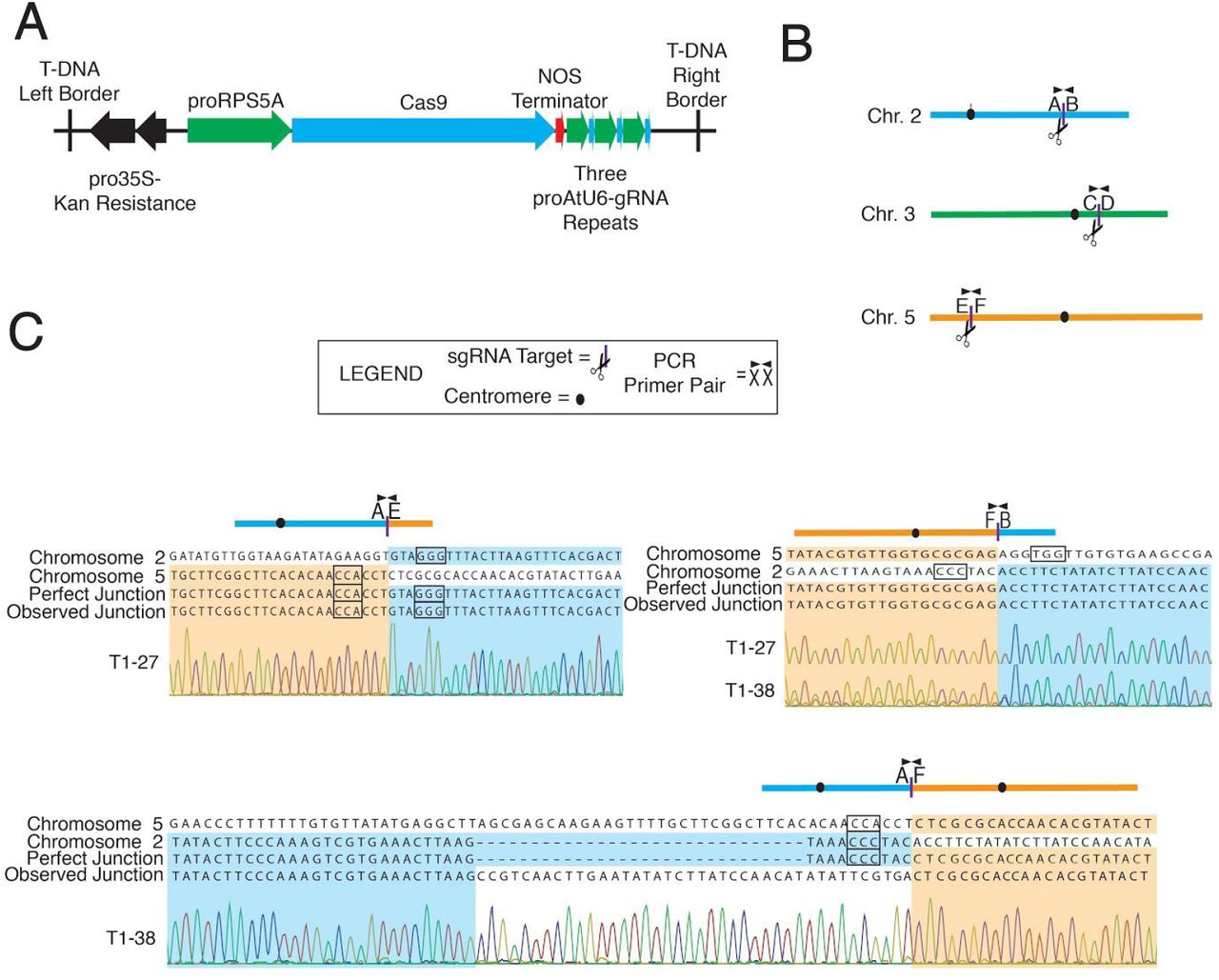 Translocation and duplication from CRISPR-Cas9 editing in