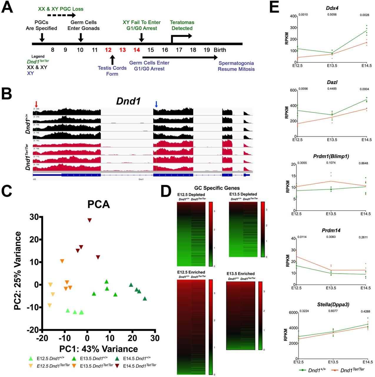 The RNA-Binding Protein DND1 Acts Sequentially as a Negative