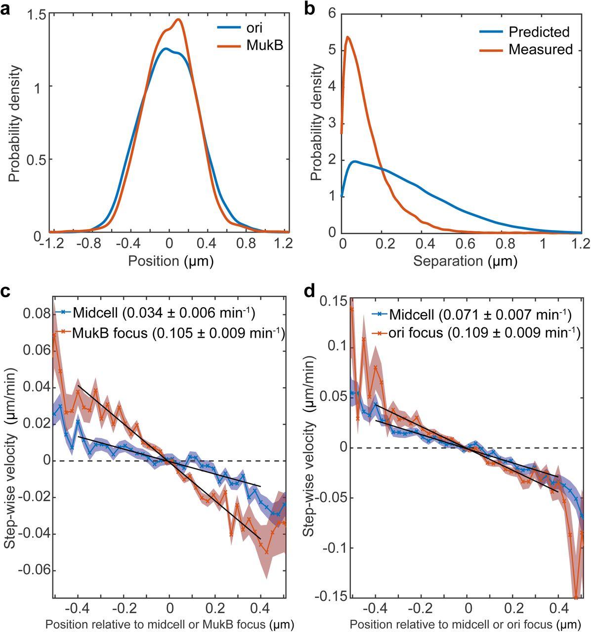 Self-organised segregation of bacterial chromosomal origins | bioRxiv