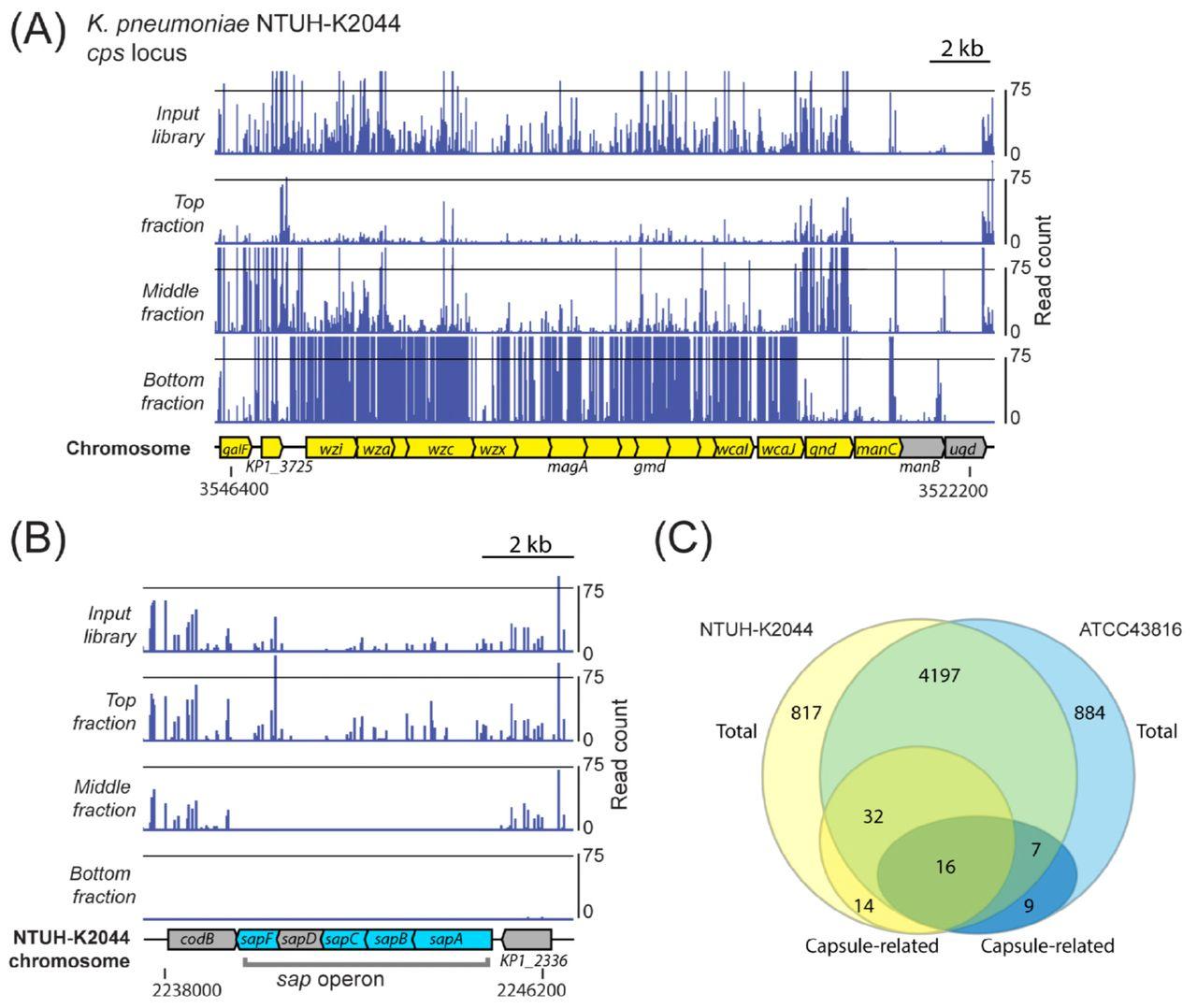 The capsule regulatory network of Klebsiella pneumoniae