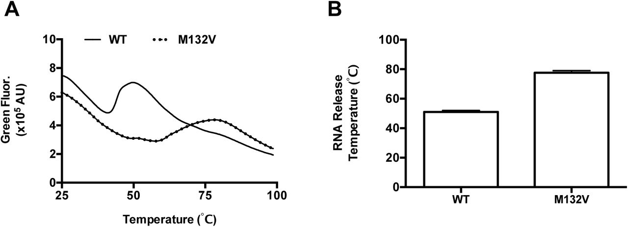 Characterization of a thermal stable poliovirus mutant