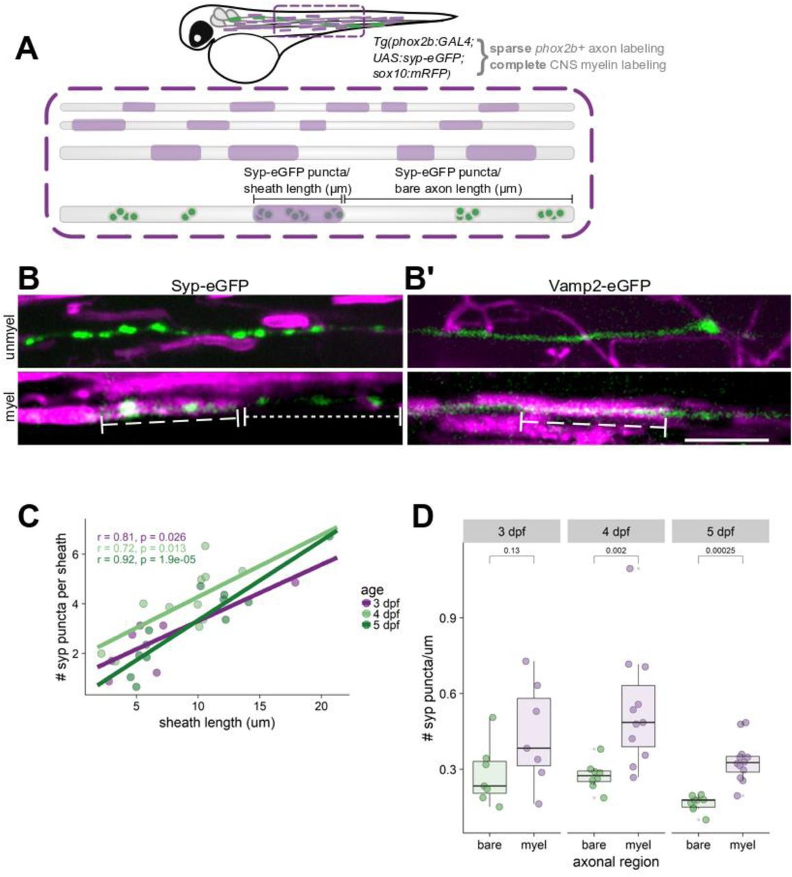 Synaptic proteins expressed by oligodendrocytes mediate CNS