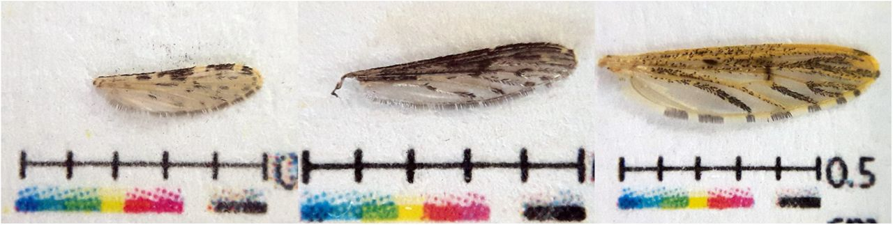 Inspecting Morphological Features of Mosquito Wings for