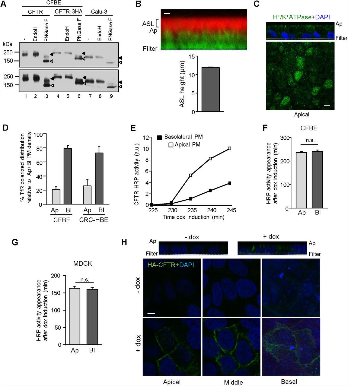 Transcytosis maintains CFTR apical polarity in the face of