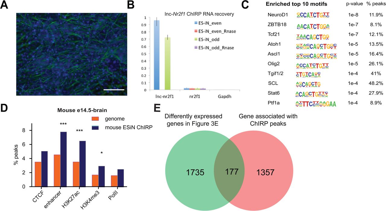 The novel lncRNA lnc-NR2F1 is pro-neurogenic and mutated in