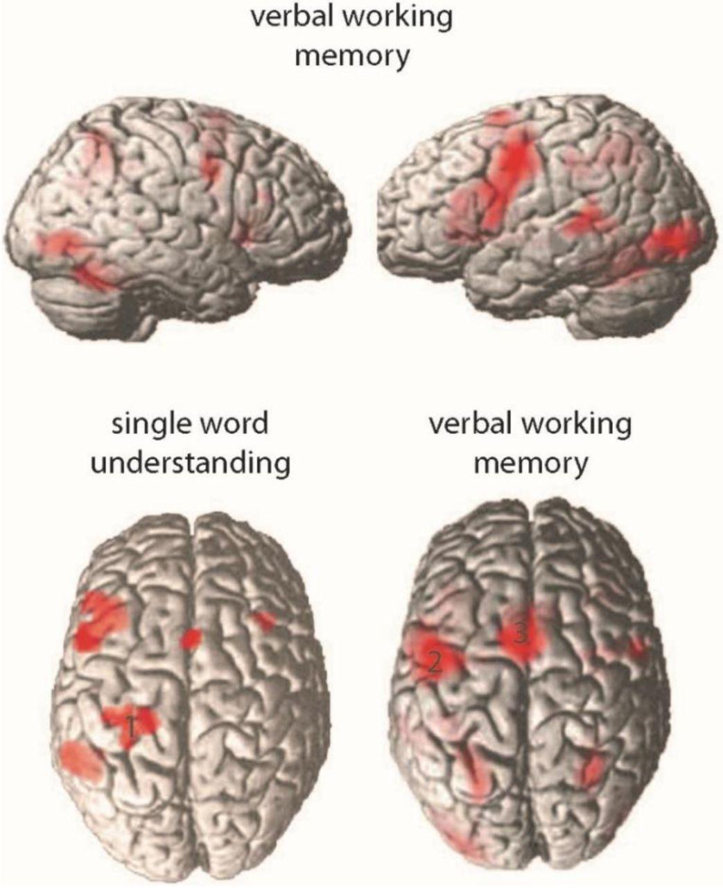 Brain correlates of action word memory   bioRxiv
