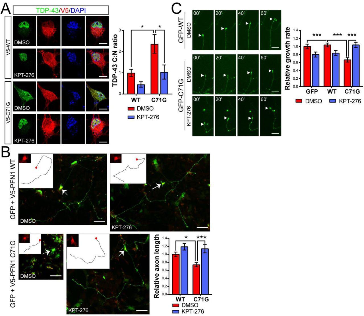 Modulation of actin polymerization affects nucleocytoplasmic