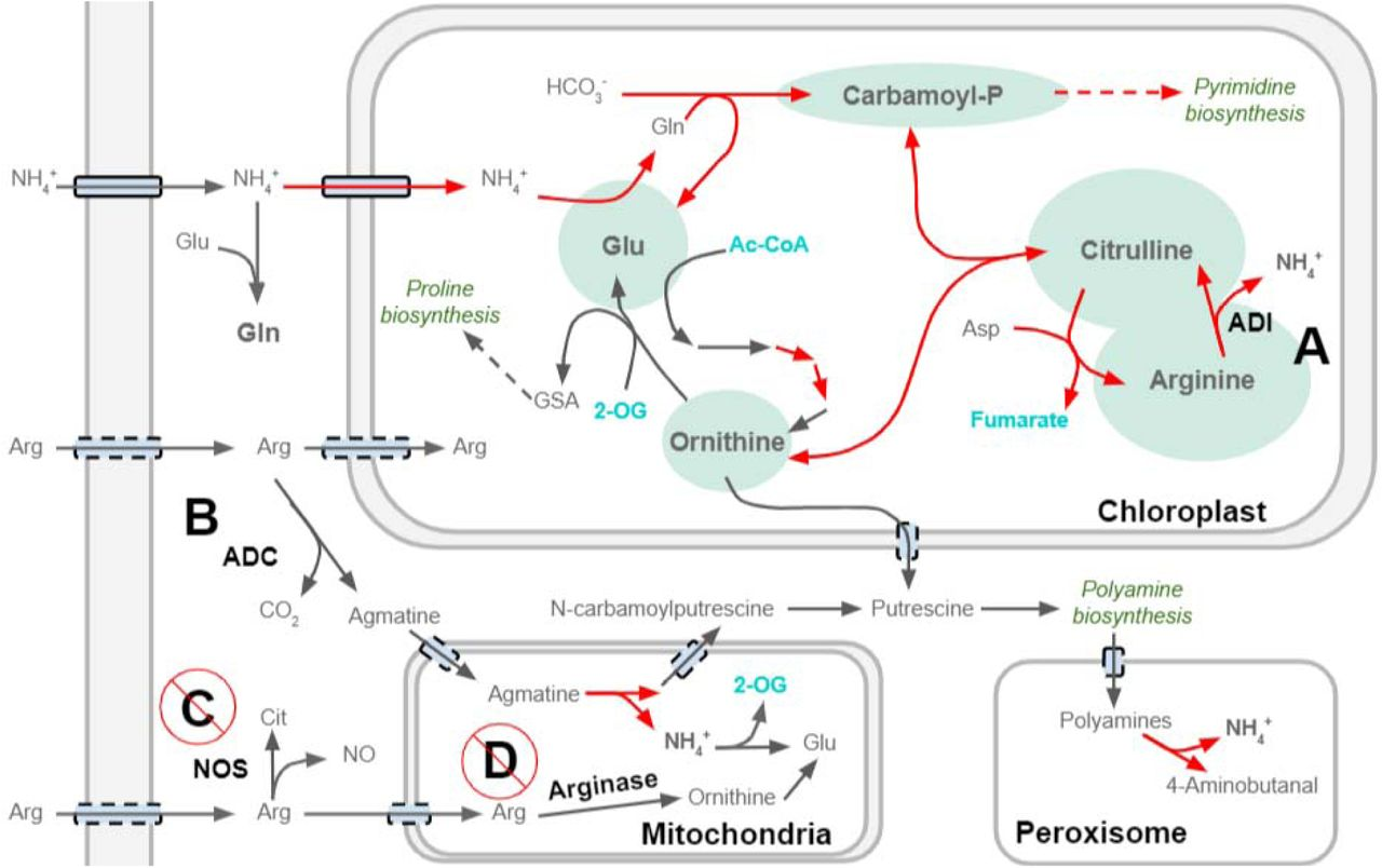 Arginine culture turns on the elusive nitrogen starvation