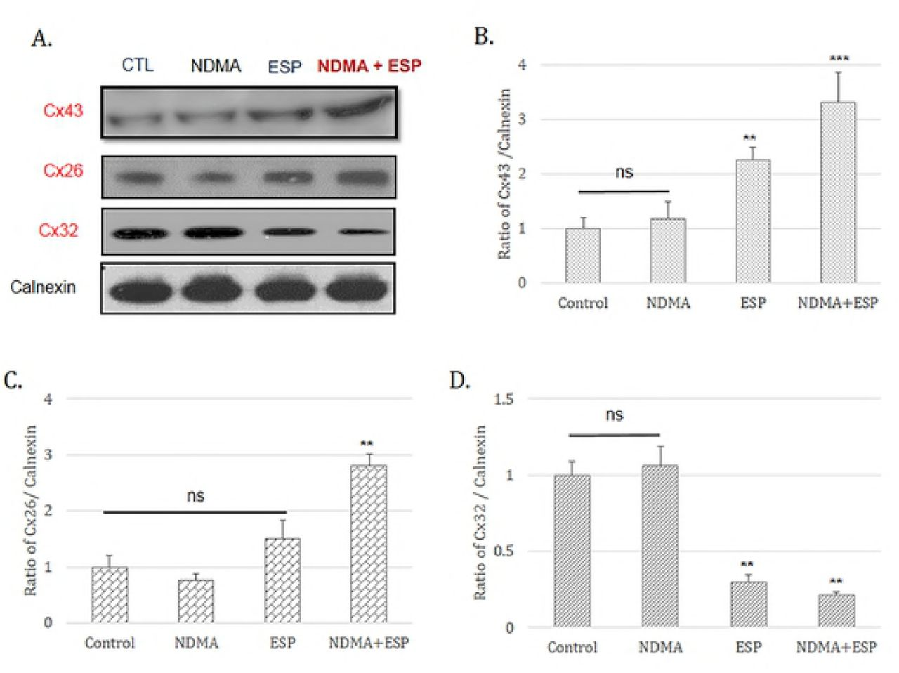 Expression of the gap-junction proteins connexin 26, connexin 32, and connexin 43 in H69 cells after treatment with NDMA and/or ESP, as determined by western blotting. H69 cells were incubated with either PBS (vehicle) or NDMA and/or ESP for 72 h, and the cells were collected for protein extraction. The blots of each groups were run under same experimental conditions and the images were cropped from different parts of the same gels, DATA represent the mean ± SE of five independent experiments. * P