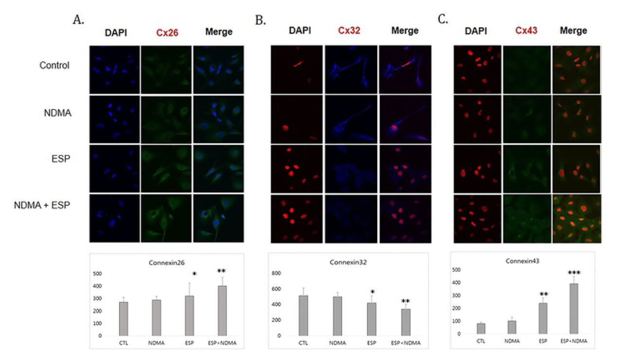 Effect of connexin 43 silencing in H69 cells. A. Reduced cell proliferation upon NDMA and ESP treatment in H69 cells by connexin 43 silencing. B. Uptake of Cx43 siRNA reduces Cx43 expression, as confirmed by real-time PCR. Cx43 expression was remarkably reduced in H69 cells transfected with Cx43 -specific siRNA. C. Ratio of Cx26/GAPDH in H69 cells transfected with Cx43 -specific siRNA. Cx26 expression was remarkably reduced in H69 cells transfected with Cx43 -specific siRNA. D. The ratio of Cox-2/GAPDH in H69 cells transfected with Cx43 -specific siRNA. Cox-2 expression was remarkably reduced in H69 cells transfected with Cx43 -specific siRNA. Data represent the mean ± SE of five independent experiments. * P