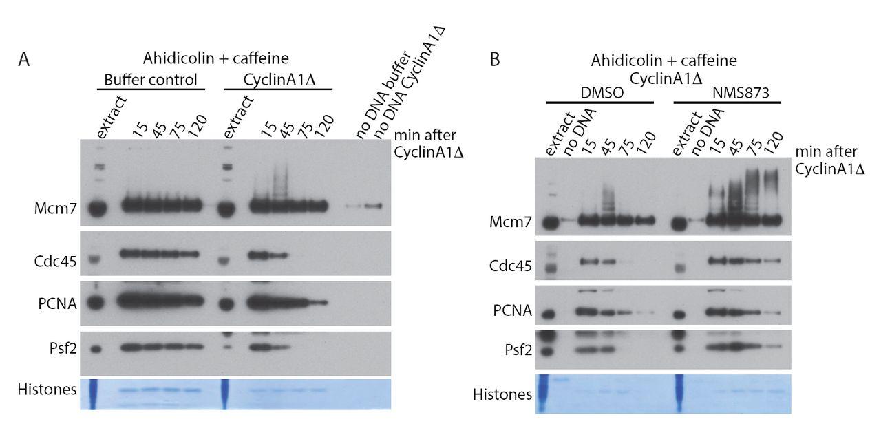 Mitotic replisome disassembly in vertebrates | bioRxiv