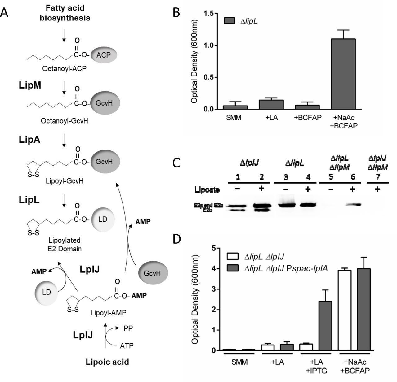 Deciphering the enigmatic role of the amidotransferase LipL