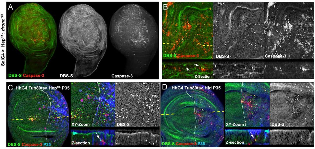 Apical caspase reporters uncover unknown stages of apoptosis