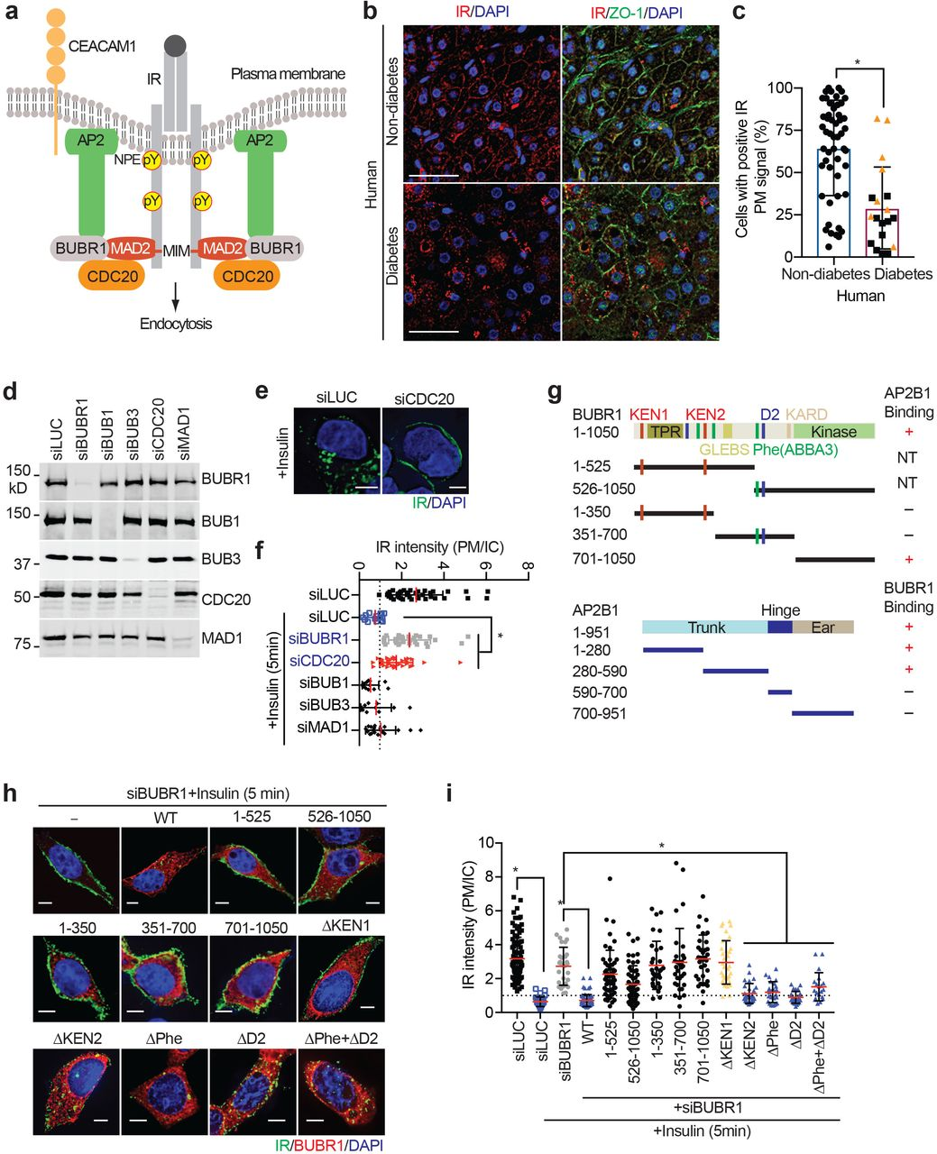 Mitotic Regulators and the SHP2-MAPK Pathway Promote Insulin