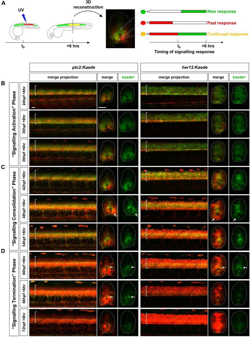 Notch signalling maintains Hedgehog responsiveness via a Gli