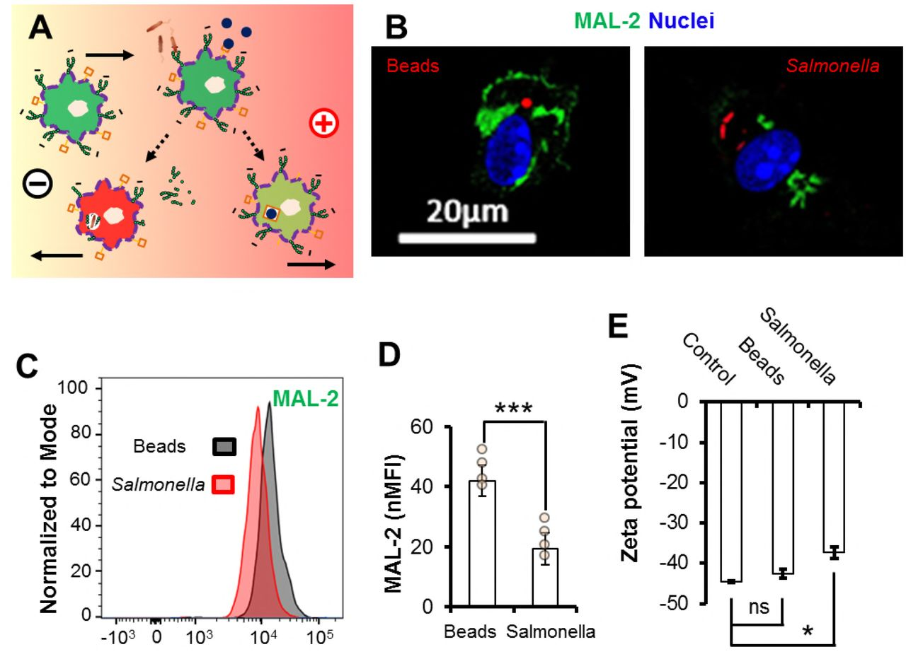 Infection-generated electric field in gut epithelium drives