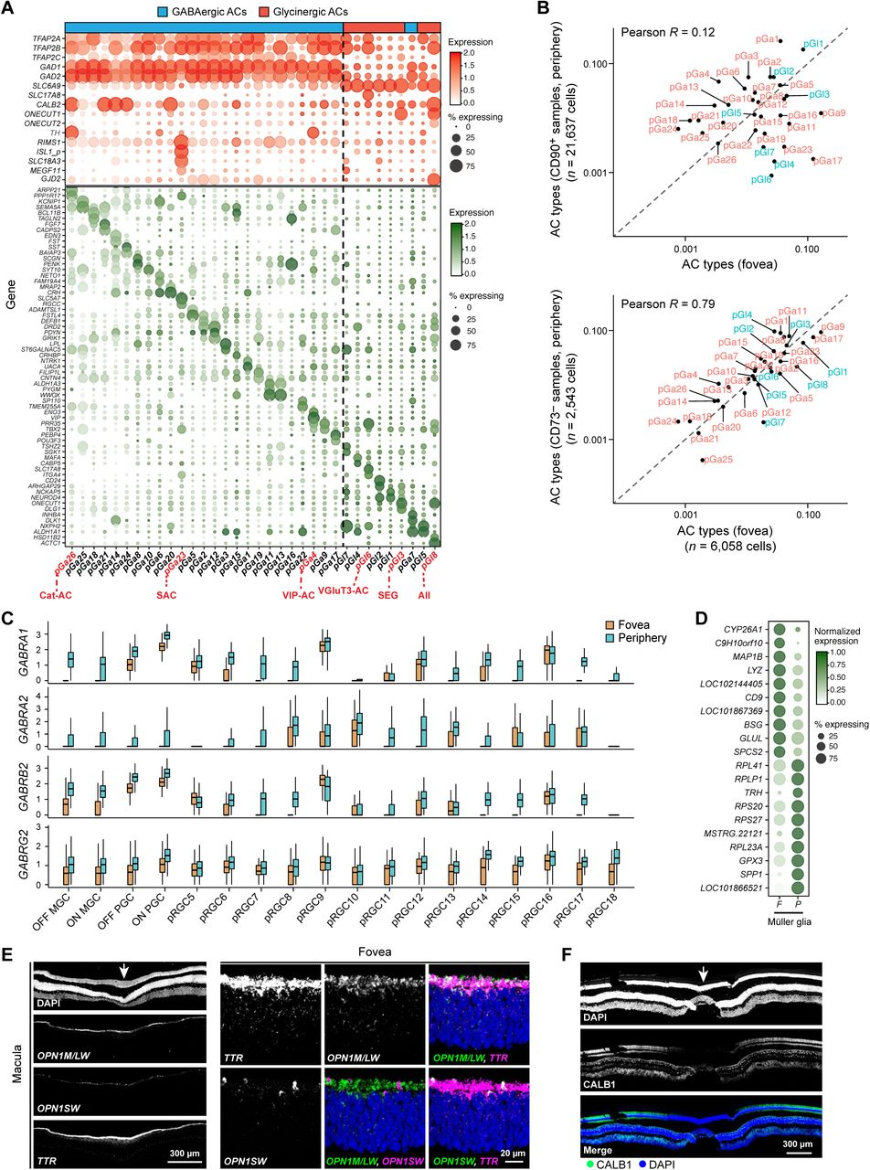 Molecular Classification and Comparative Taxonomics of Foveal and