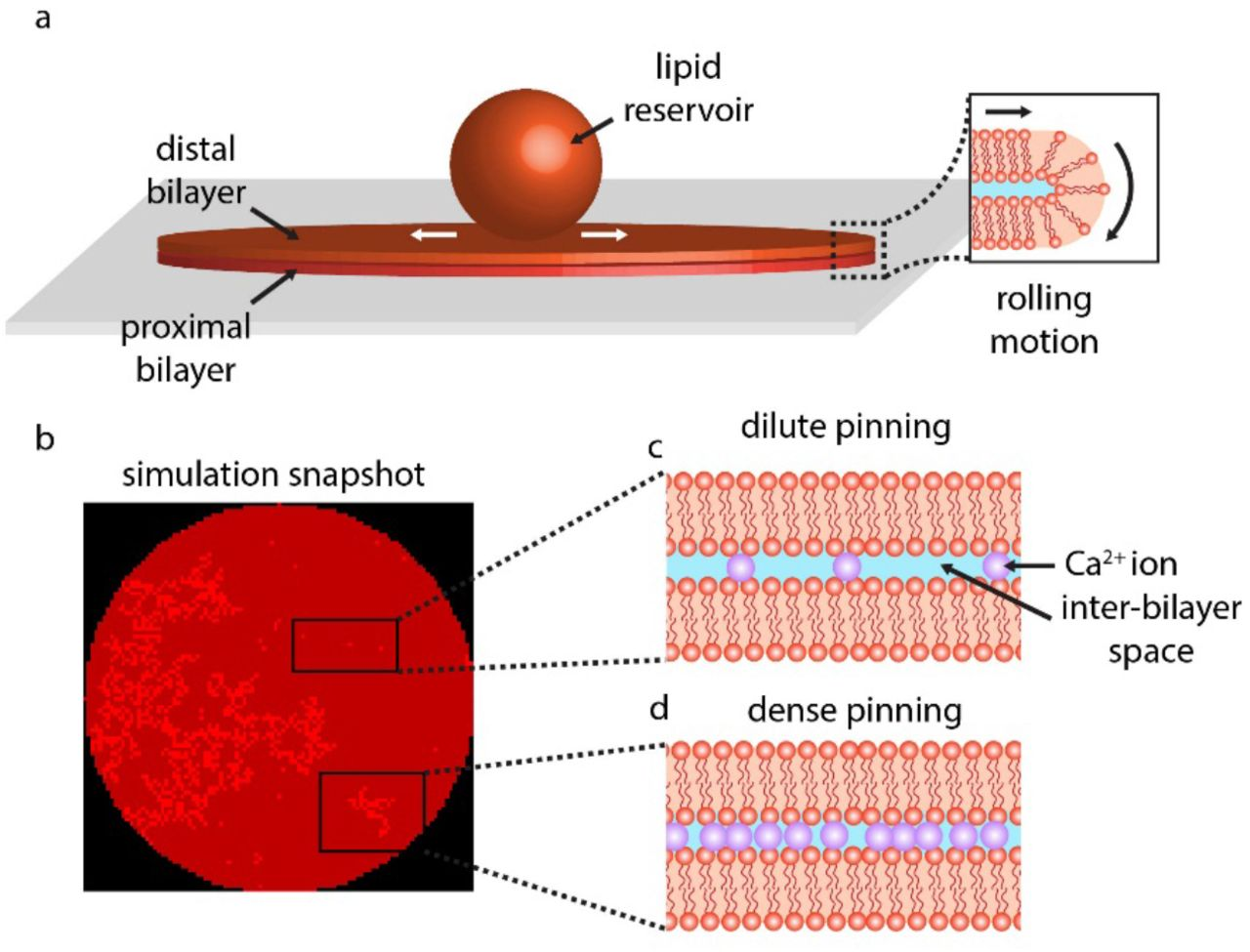 A cellular automaton for modeling non-trivial biomembrane