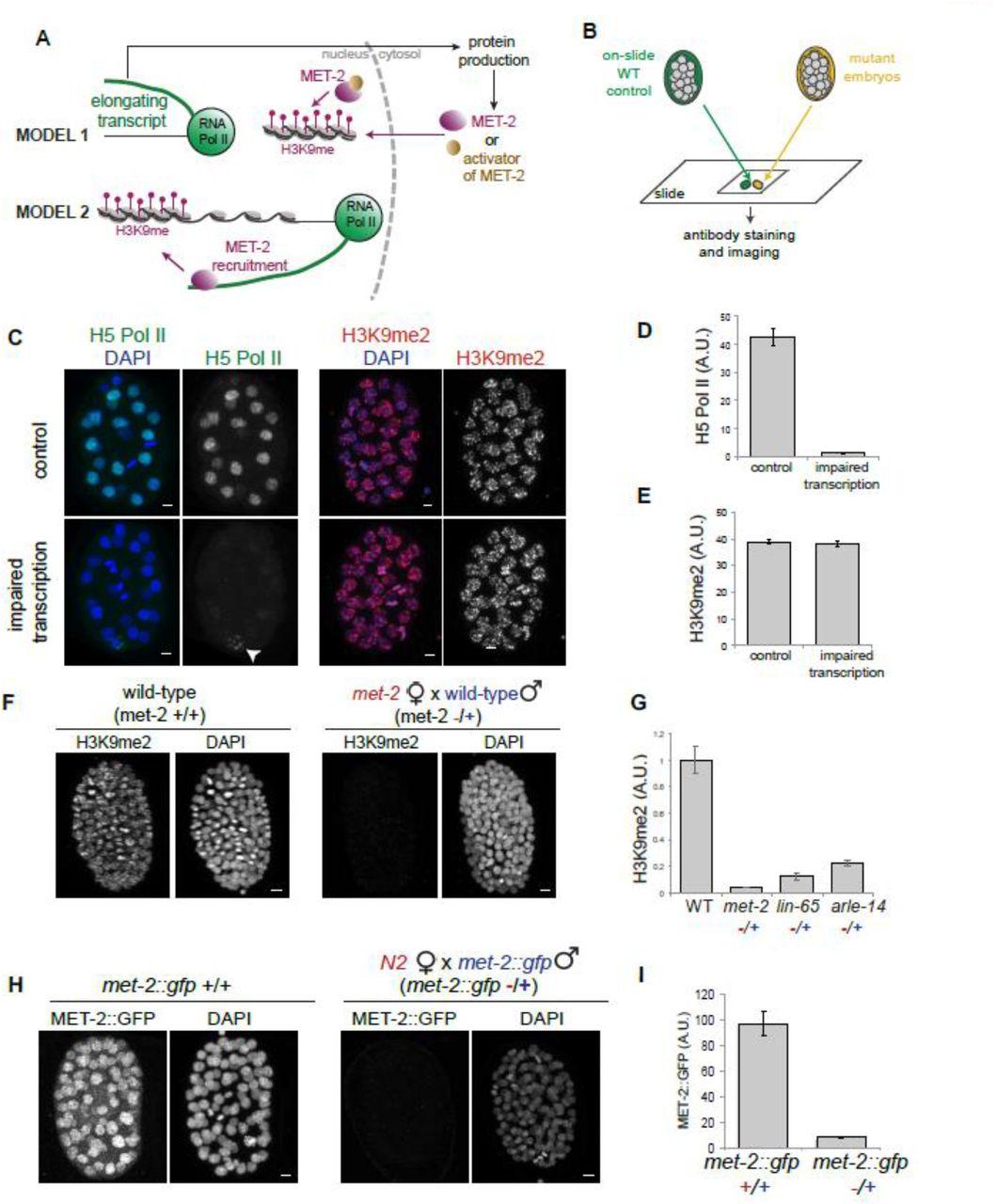 MET-2, a SETDB1 family methyltransferase, coordinates embryo events