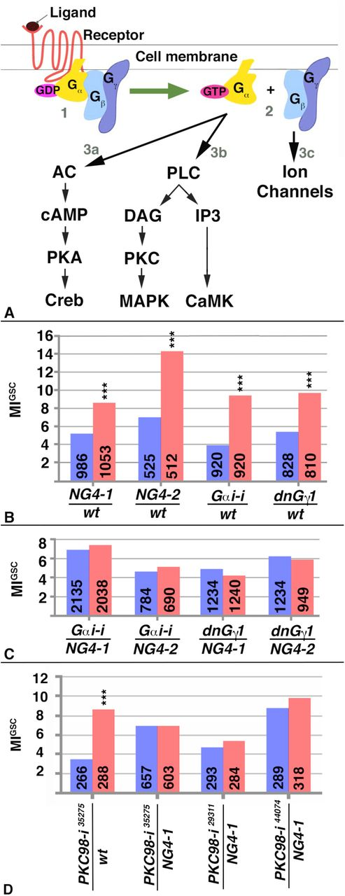 G-Protein signaling increases germline stem cell activity in