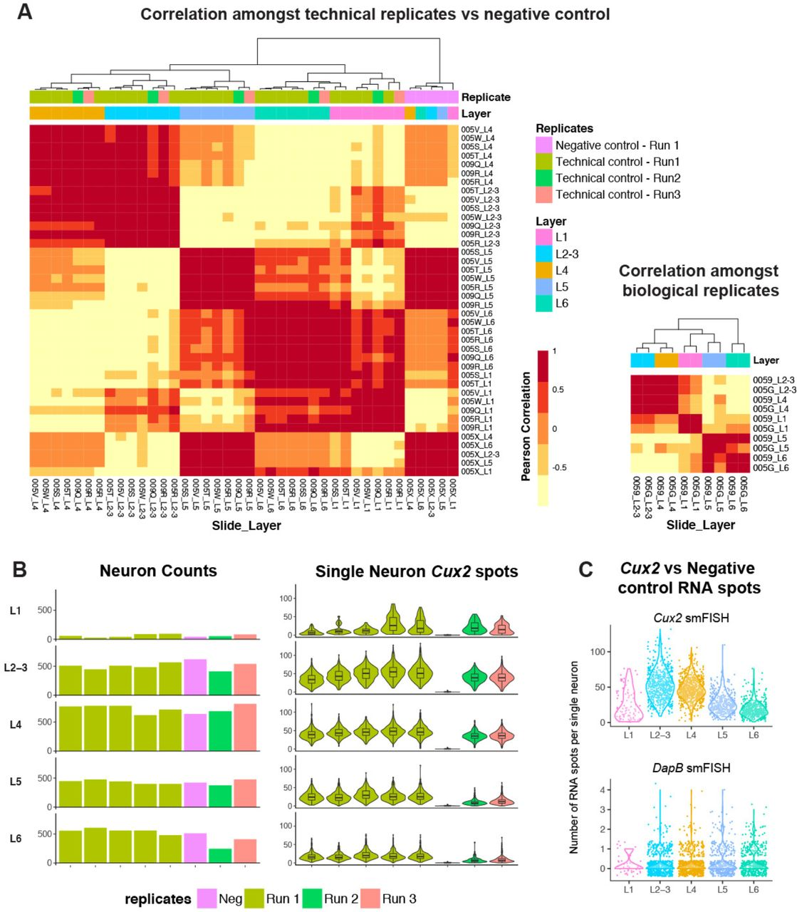 Single-cell in situ transcriptomic map of astrocyte cortical layer