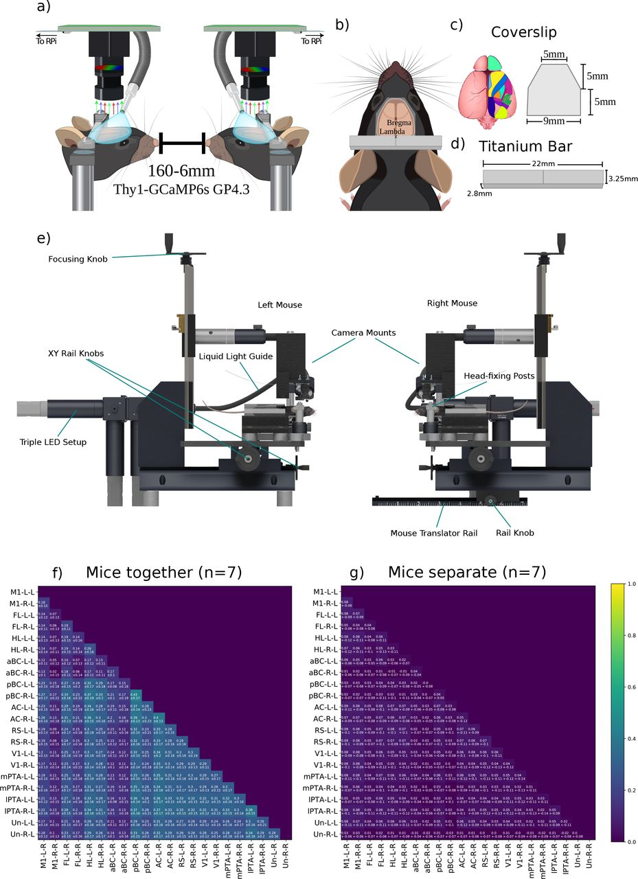 Mesoscale cortical calcium imaging reveals widespread synchronized