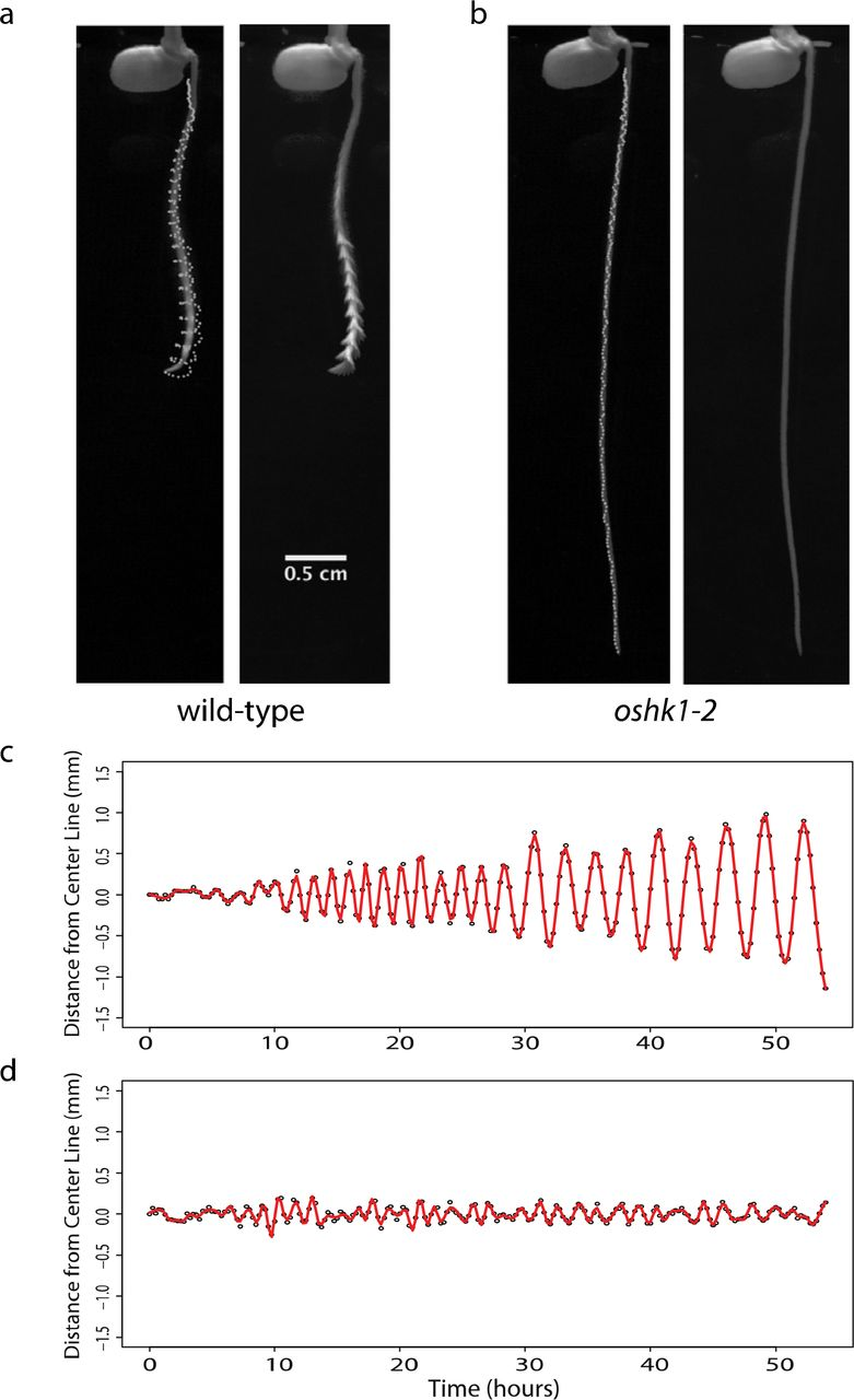 A histidine kinase gene is required for large radius root tip
