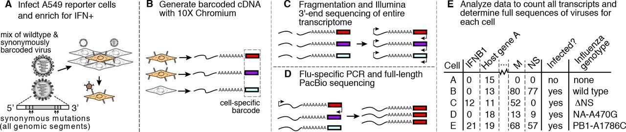 Single-cell virus sequencing of influenza infections that