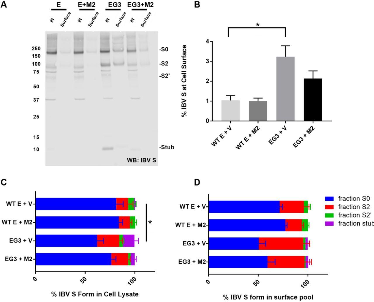 The Infectious Bronchitis Virus Coronavirus Envelope Protein Alters