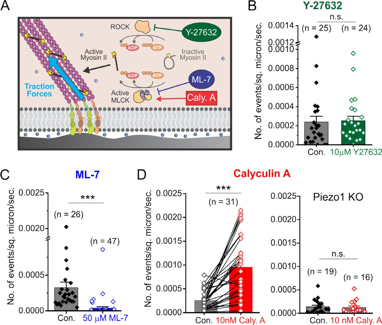Myosin-II mediated traction forces evoke localized Piezo1 Ca2+