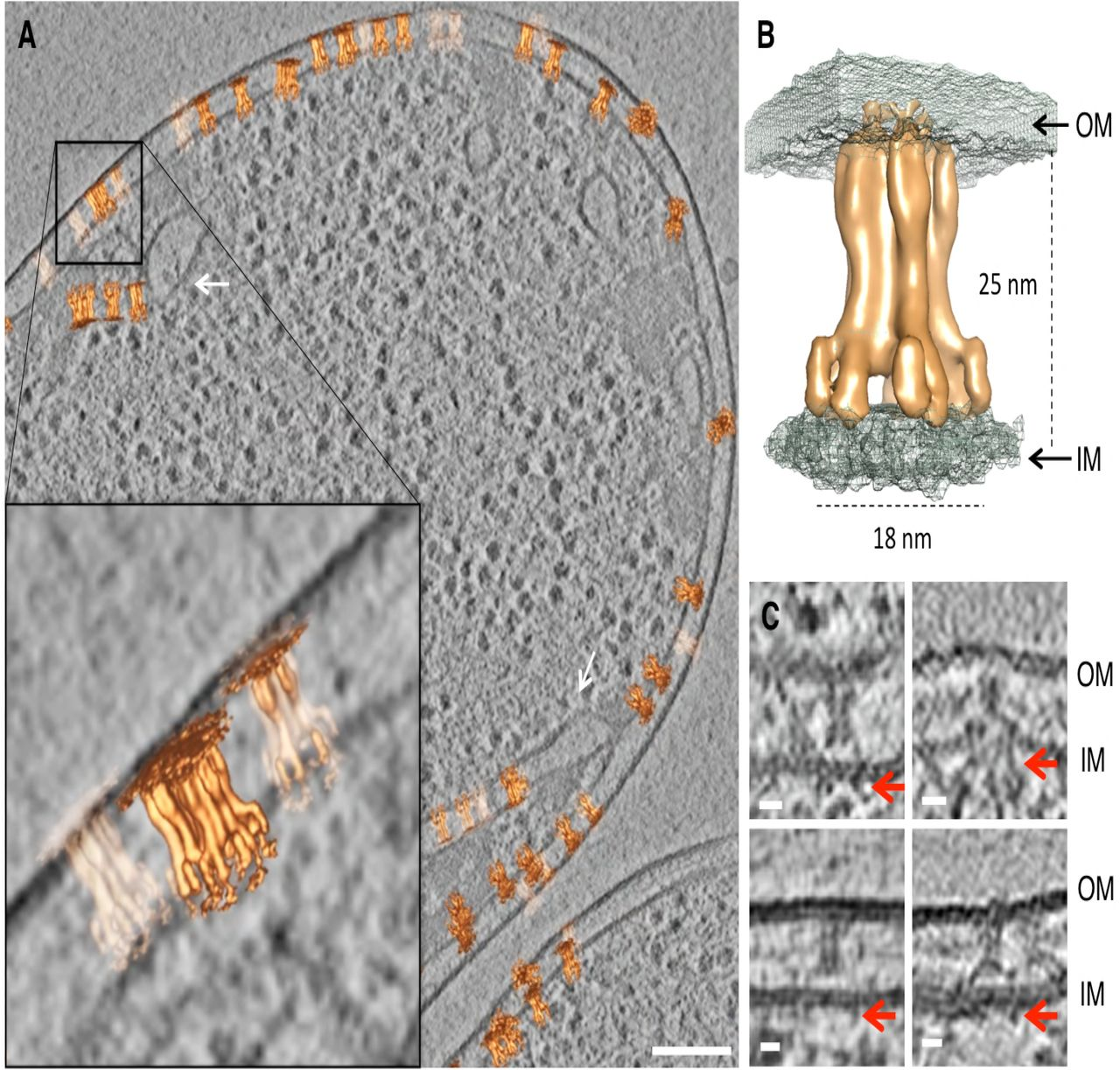 In situ and high-resolution Cryo-EM structure of the Type VI
