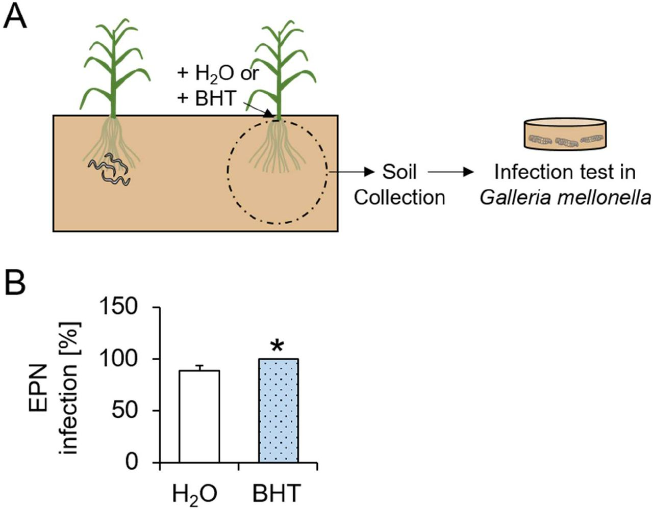 Butylated hydroxytoluene attracts entomopathogenic nematodes and increases their predation success in the soil. A. Visual representation of experimental setup. Each arena contained two pairs of plants separated by 15 cm. BHT or water (H 2 O) was added to the soil of one of the plant pairs. All treatment solutions contained 0.01% ethanol. EPNs were added to the soil of the second plant pair. After two days, 150 mg soil was collected from the BHT and H 2 O treated plants and placed in cups containing three Galleria mellonella larvae for infection tests. B. Proportion of EPN-infected G. mellonella larvae (mean ± SEM) exposed to soil collected from water (H 2 O) and BHT sides of the different arenas (n=12). Star indicate significant differences (*: p