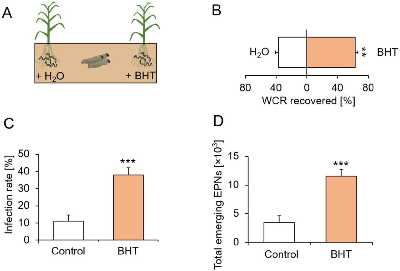Butylated hydroxytoluene increases herbivore recruitment, predation success and fitness of entomopathogenic nematodes in the soil. A. Visual representation of experimental setup. Entomopathogenic nematodes were applied on both sides of the arenas, and each side was either watered with BHT or H 2 O. Eight western corn rootworm (WCR) larvae were then released in the middle and recollected after five days (n=12). B. Proportions (Mean ± SEM) of WCR larvae recovered from each side (n=12). C. WCR infection rates (Mean ± SEM) on each side (n=12). D. Total number of EPNs (Mean ± SEM) emerging from the WCR larvae on each side (n=12). Stars indicate significant differences (**: p