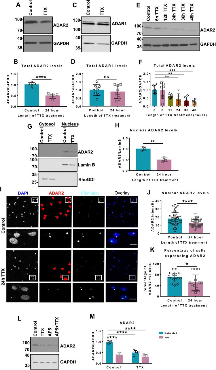 Chronic suppression of network activity decreases ADAR2 levels. A. Representative western blots of total ADAR2 and GAPDH levels in hippocampal neurons with or without 24 h TTX treatment to suppress synaptic activity. B. Quantification of (A) total ADAR2 normalised to GAPDH from 5 independent experiments. ADAR2 levels normalised to loading control GAPDH. Statistical Analysis: Unpaired t-test; ****