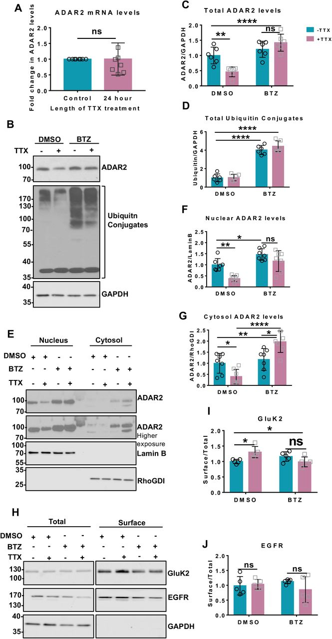 TTX promotes proteasomal degradation of ADAR2. A. RT-qPCR analysis of mRNA levels of ADAR2 post TTX treatment showing no changes in the ADAR2 mature mRNA transcripts from 7 independent experiments. Statistical analysis: Unpaired t-test; ns > 0.05. B. Representative western blots of total ADAR2, total ubiquitin and GAPDH levels in neurons treated with either DMSO or 1μM Bortezomib (BTZ) for 20 h either in the presence or absence of 24 h TTX. C. Quantification of total ADAR2 immunoblots normalised to GAPDH from 6 independent experiments. Statistical Analysis: Two-way ANOVA with Tukey's multiple comparisons test: **