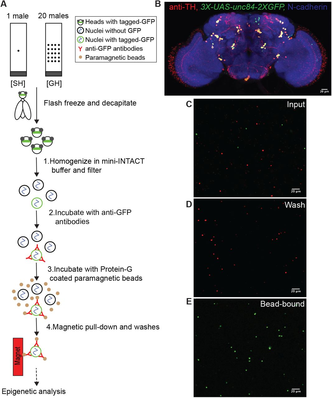 Shared Epigenetic Changes Underlie >> Social Isolation Induced Epigenetic And Transcriptional Changes In